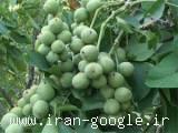 مشاوره رایگان در امور درخت گردو و فروش گردو
